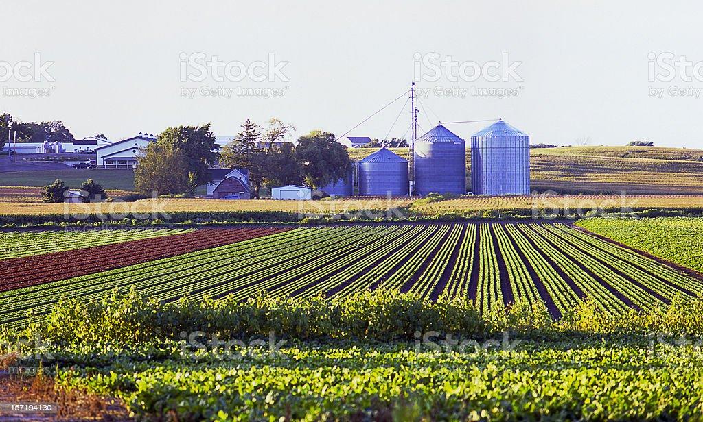 Crop Rows I royalty-free stock photo
