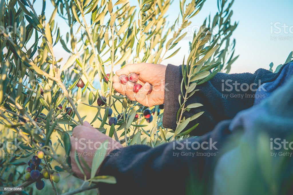 Cropped Hands Plucking Olives On Tree in Brac, Croatia, Europe stock photo