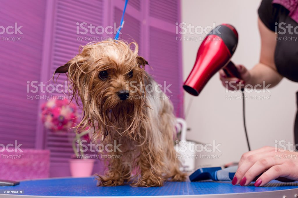 cropped shot of groomer with hair dryer drying cute furry yorkshire terrier dog stock photo