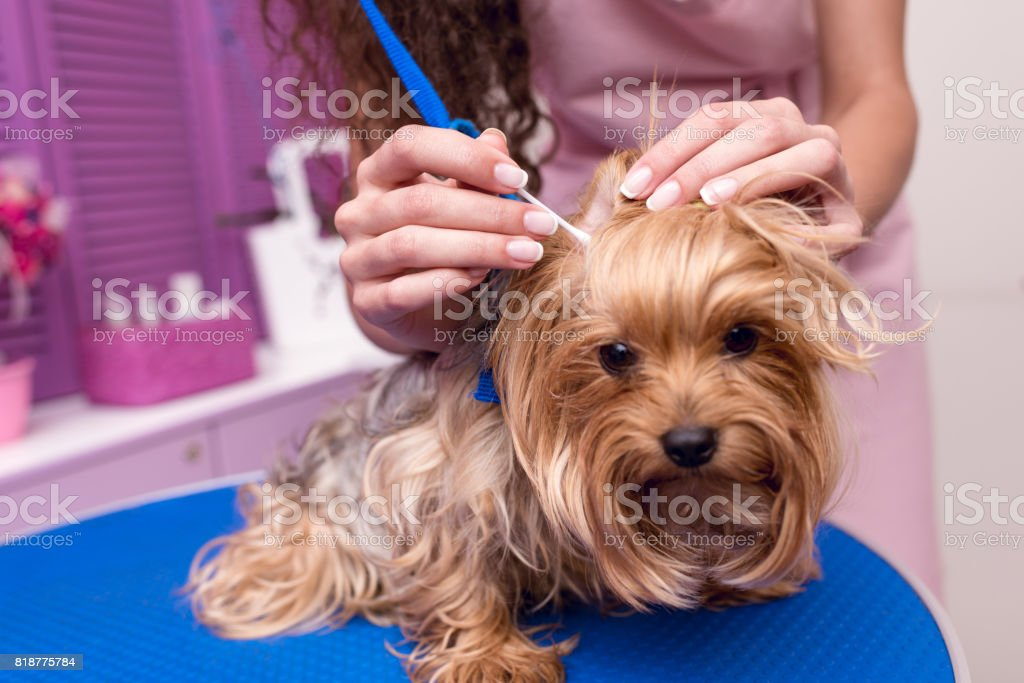 cropped shot of professional groomer in apron cleaning ears of cute small furry dog stock photo