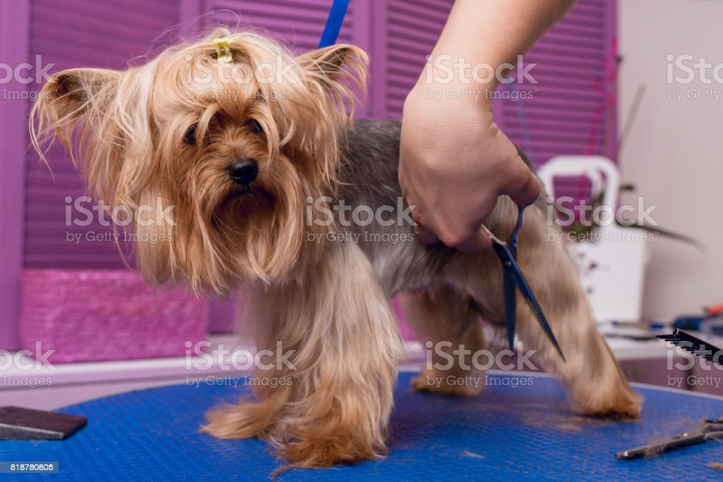 cropped shot of professional groomer with scissors cutting fur of cute yorkshire terrier dog stock photo