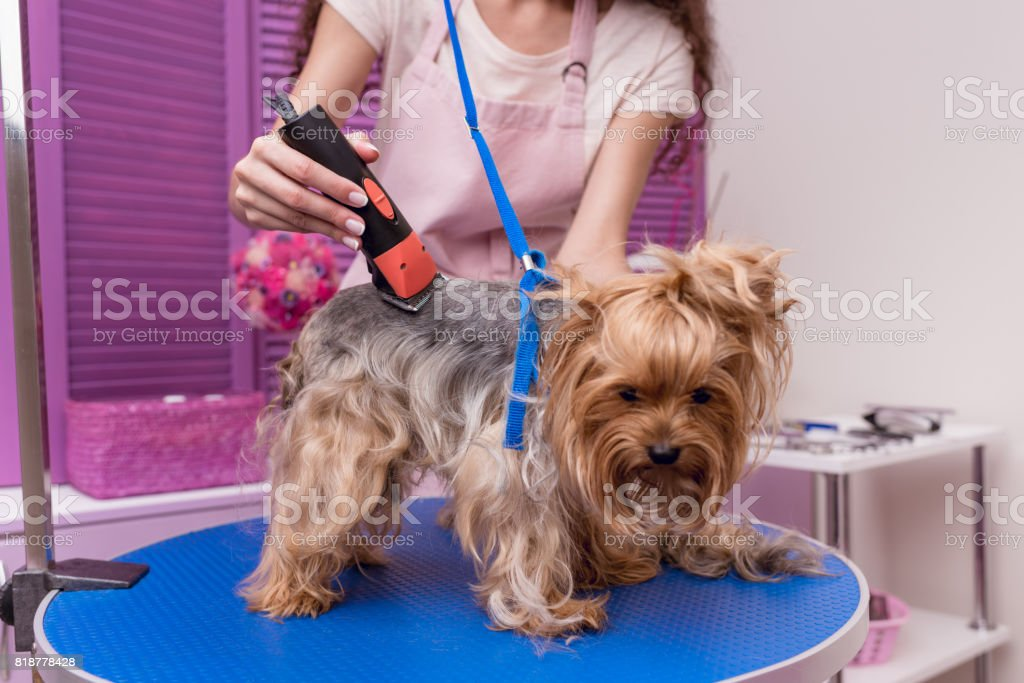 cropped shot of professional young groomer trimming yorkshire terrier dog with trimmer stock photo