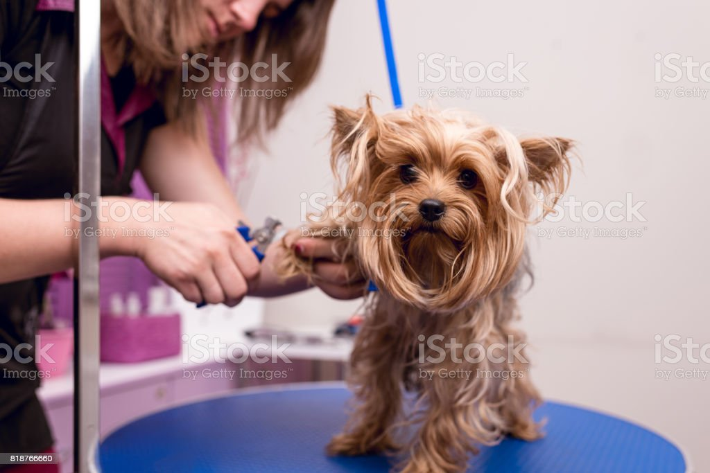 cropped shot of young professional groomer grooming yorkshire terrier in pet salon stock photo