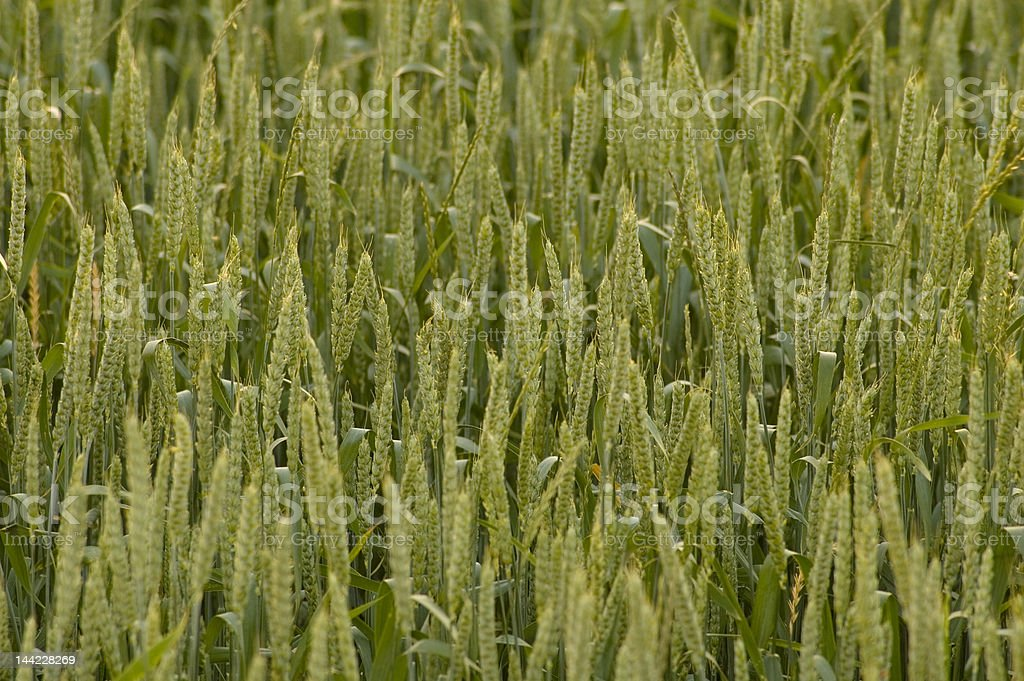 Crops field 0827 royalty-free stock photo