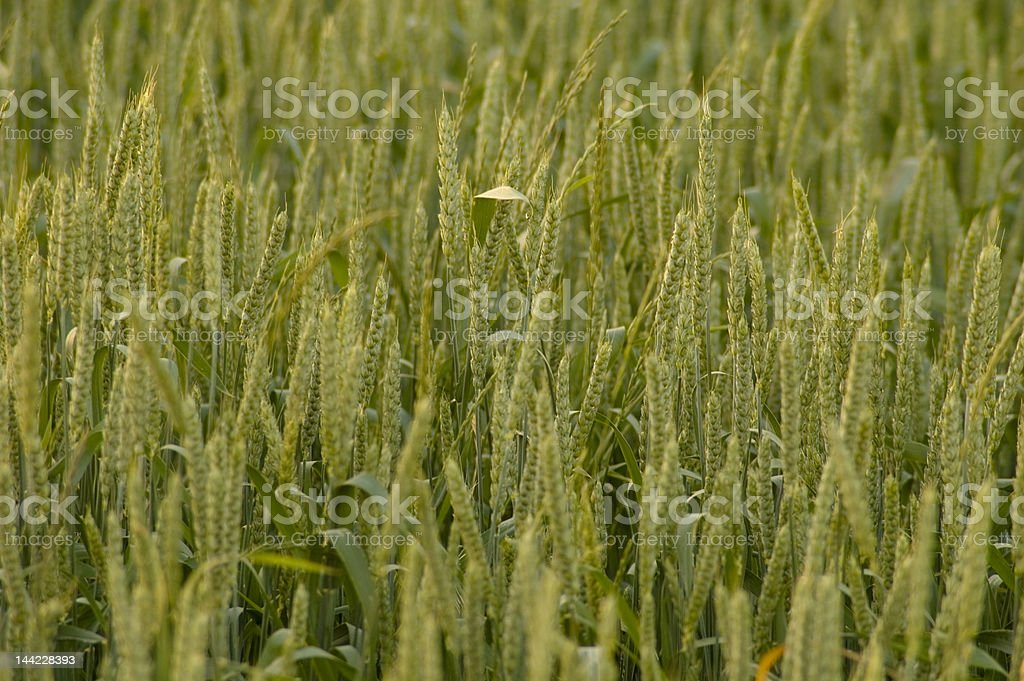 Crops field 0835 royalty-free stock photo
