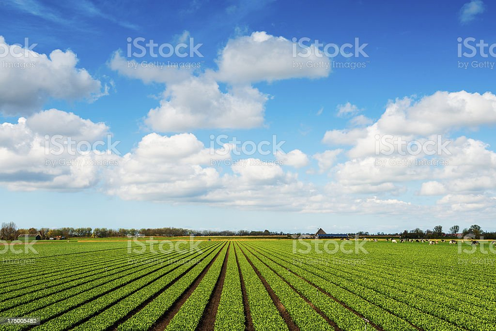 Crops Grow on Fertile Farm Field with Cows stock photo