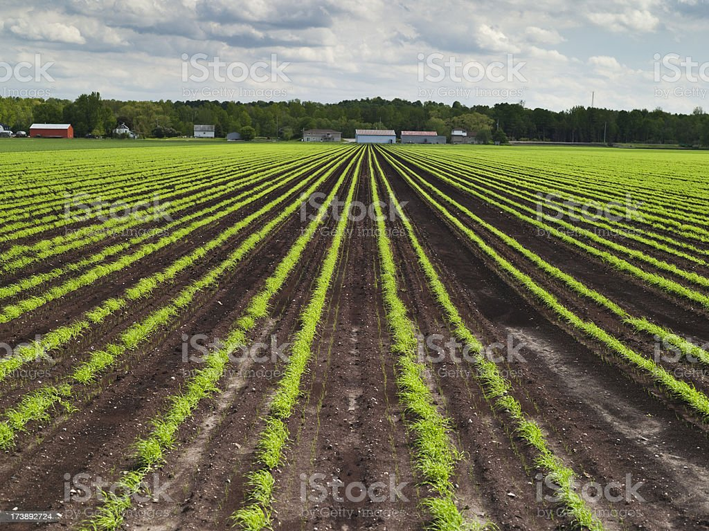 Crops growing on a farm. royalty-free stock photo