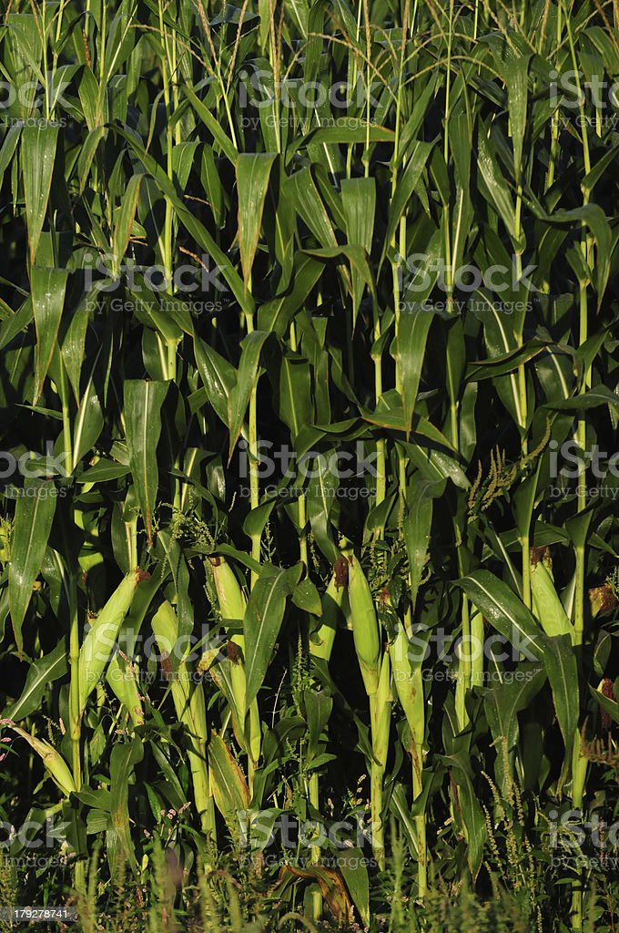 Crops ready for harvest royalty-free stock photo
