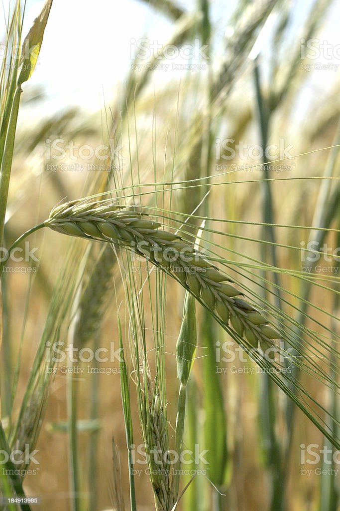 Crops ripening in the sun royalty-free stock photo