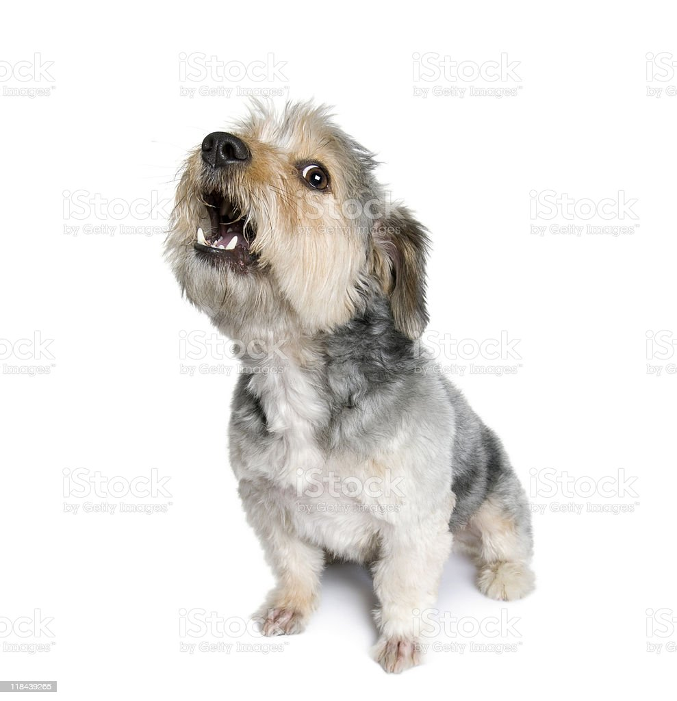 Cross Breed dog barking in front of white background stock photo