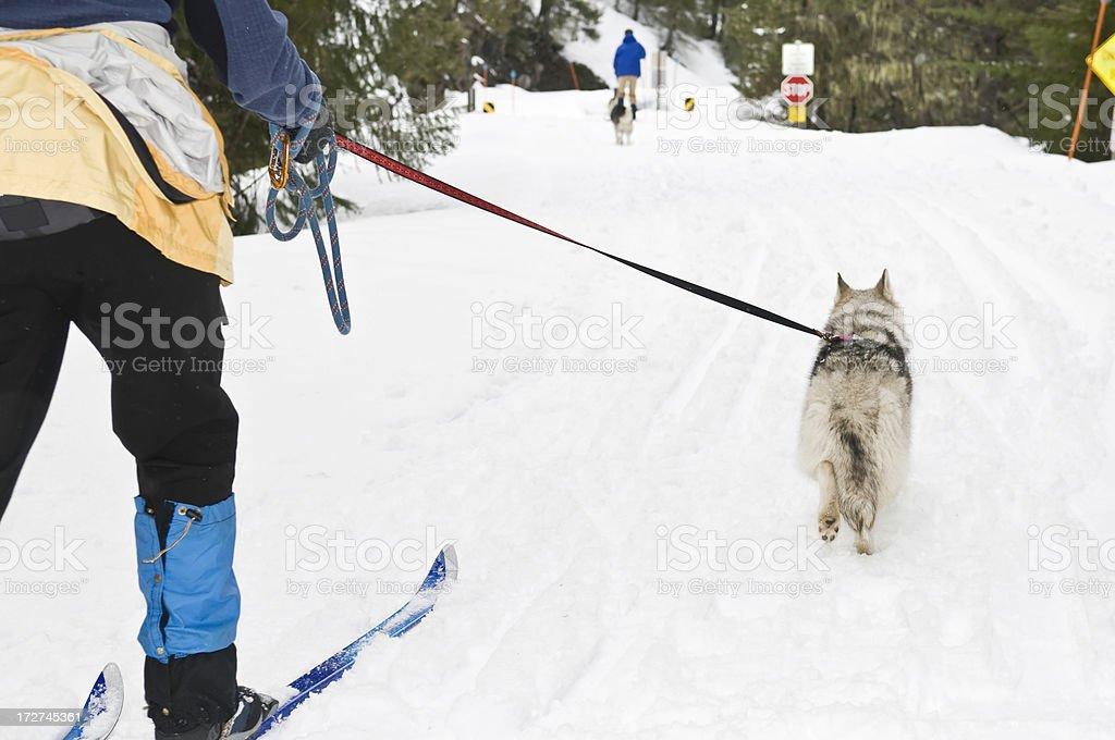 Skiing with Siberian Huskies.