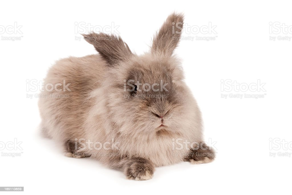 Cross looking fluffy rabbit stock photo