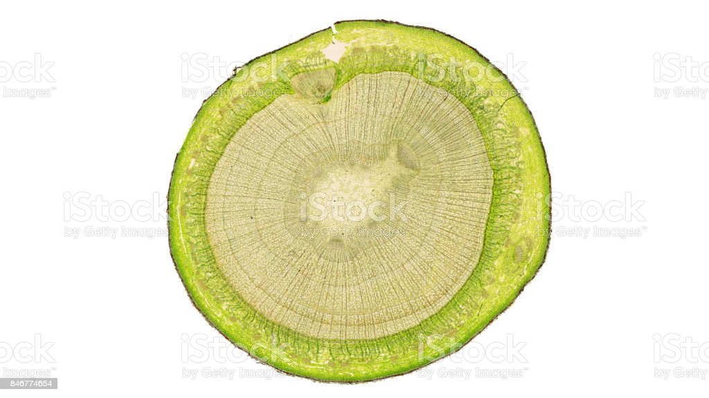 cross section cut of plant stem under the microscope stock photo