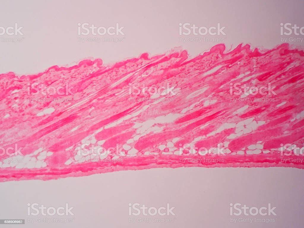Cross section human skin tissue under microscope view stock photo