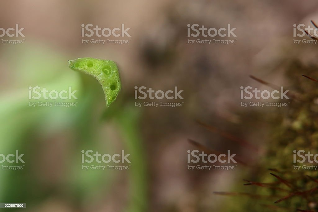 Cross section of a barbara leaf (Barbarea vulgaris) stock photo