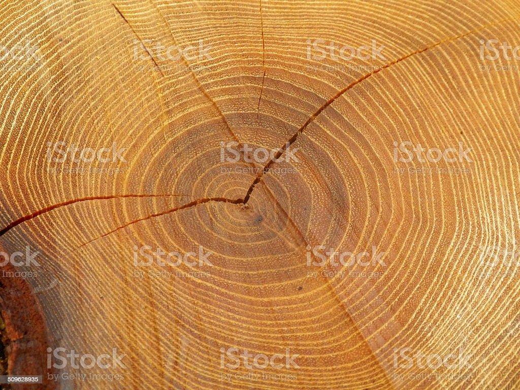 Cross section of a felled acacia tree stock photo