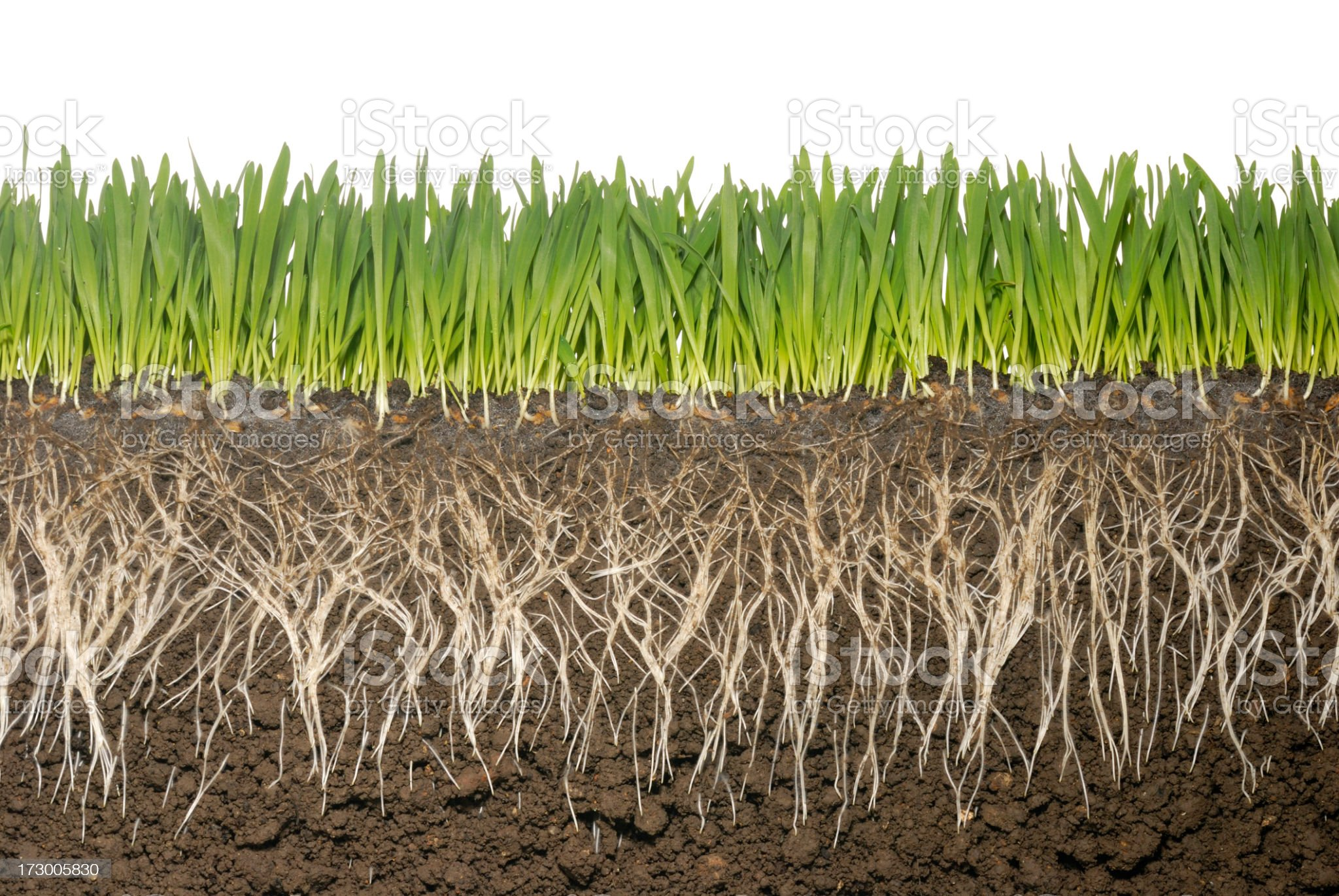 Cross section of grass and grass roots with soil royalty-free stock photo
