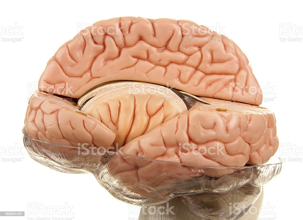 Cross Section of Human Brain Model on White Background royalty-free stock photo