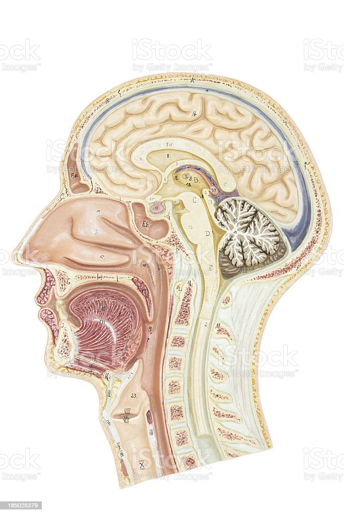 Cross section of human head stock photo