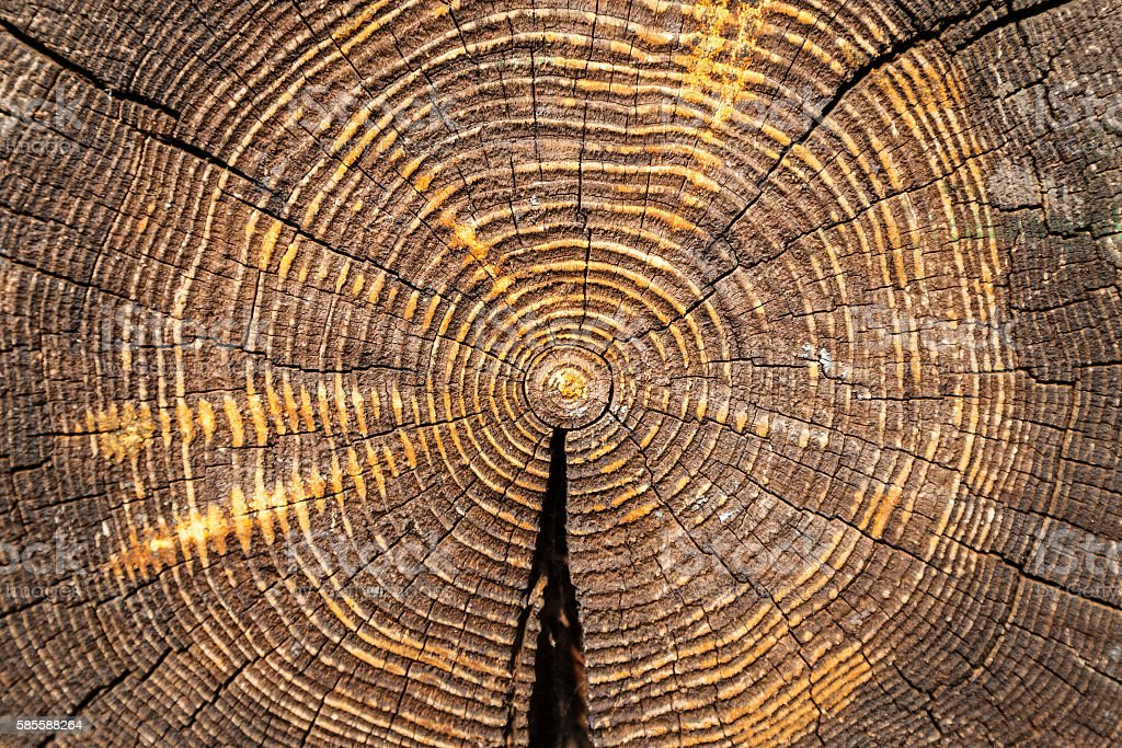 cross section of old oak trunk stock photo