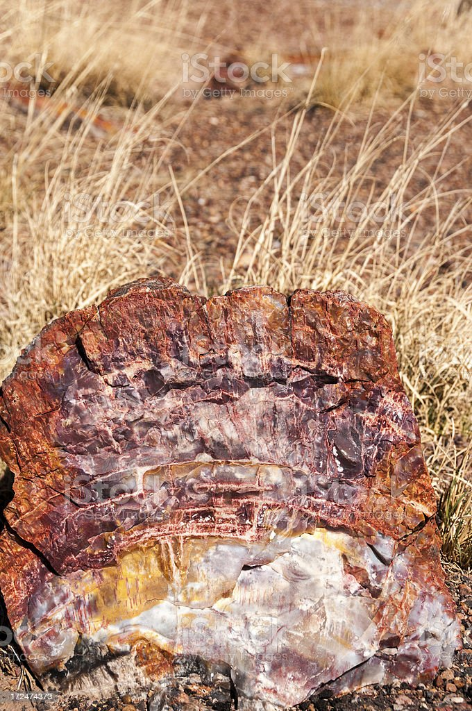 Cross Section of Petrified Wood royalty-free stock photo