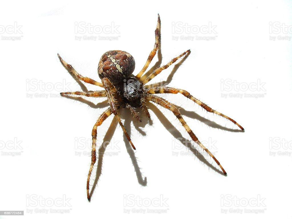 Cross Spider Diadem spider garden spider isolated on white stock photo
