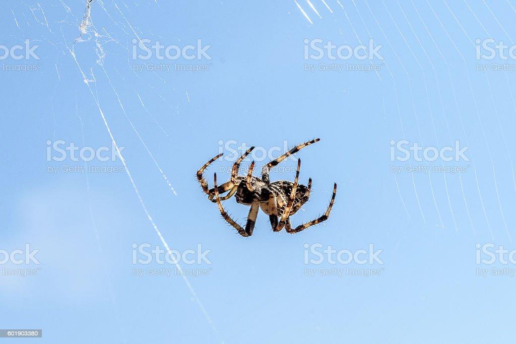 Cross spider (Araneus diadematus) - garden spider on the spiderw stock photo