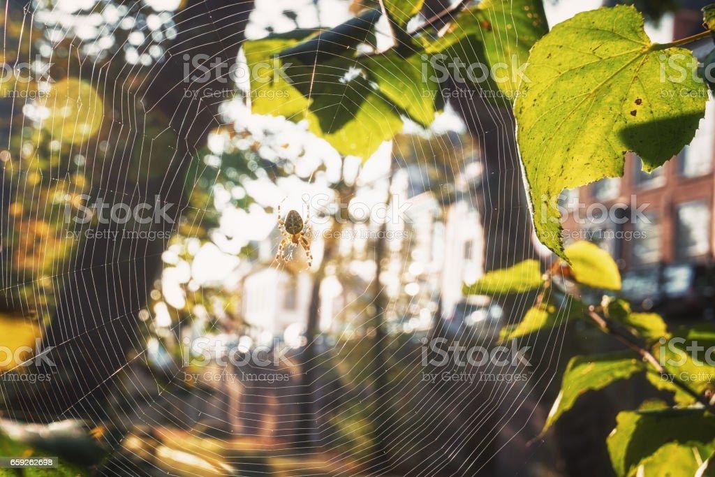 Cross spider in its web enjoying the autumn sun stock photo