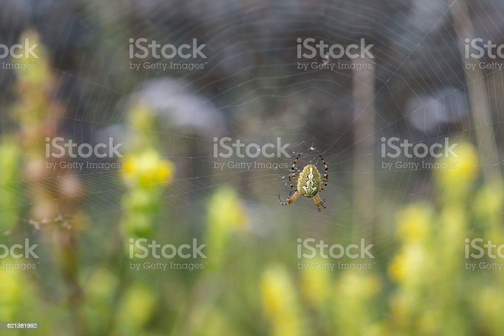 Cross spider in the garden stock photo