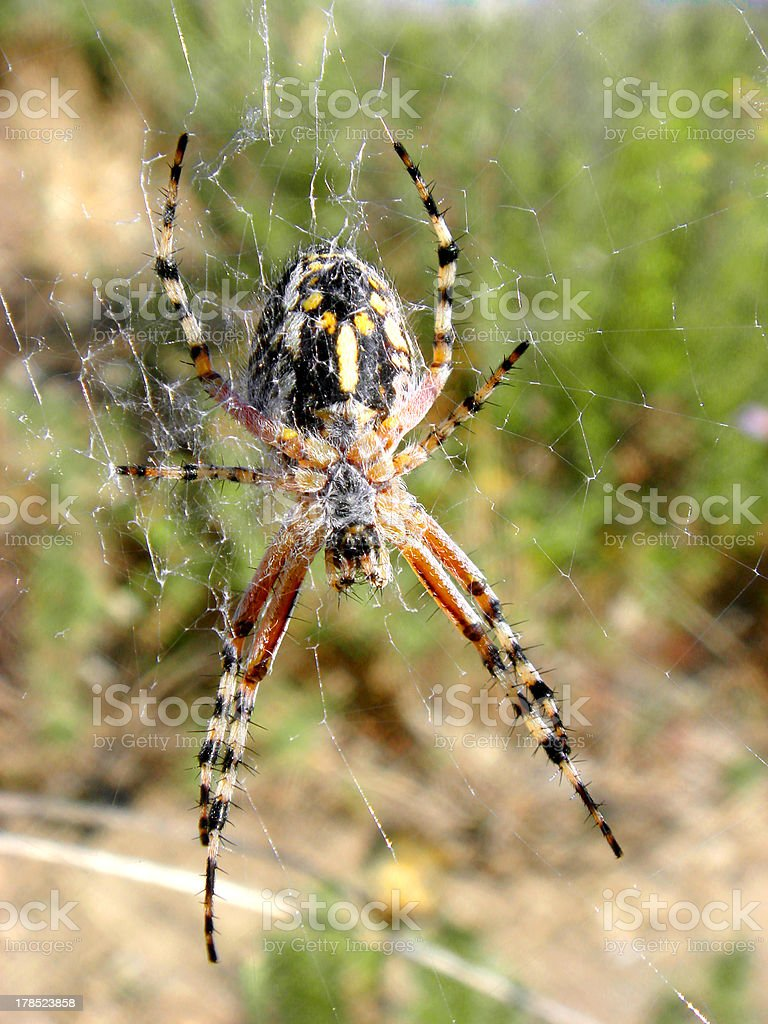Cross spider on its web royalty-free stock photo