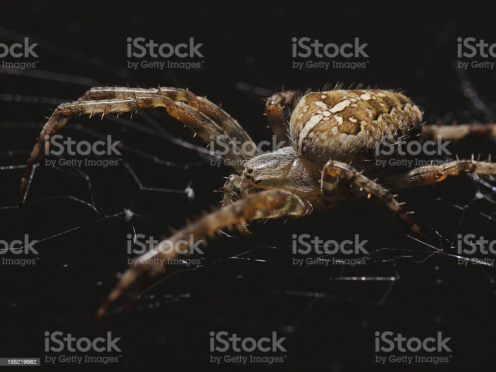 Cross spider out of the dark (Araneus diadematus) royalty-free stock photo