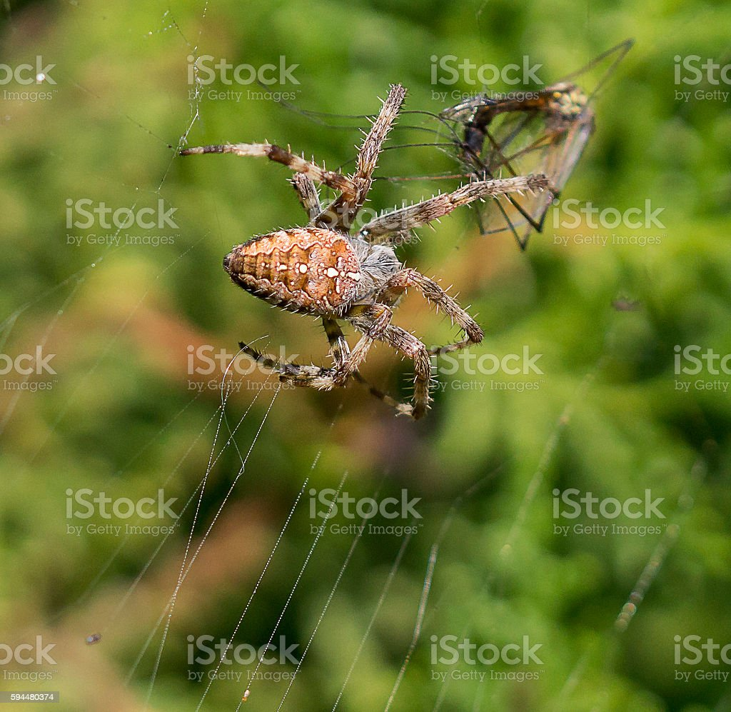 Cross spider with lunch stock photo