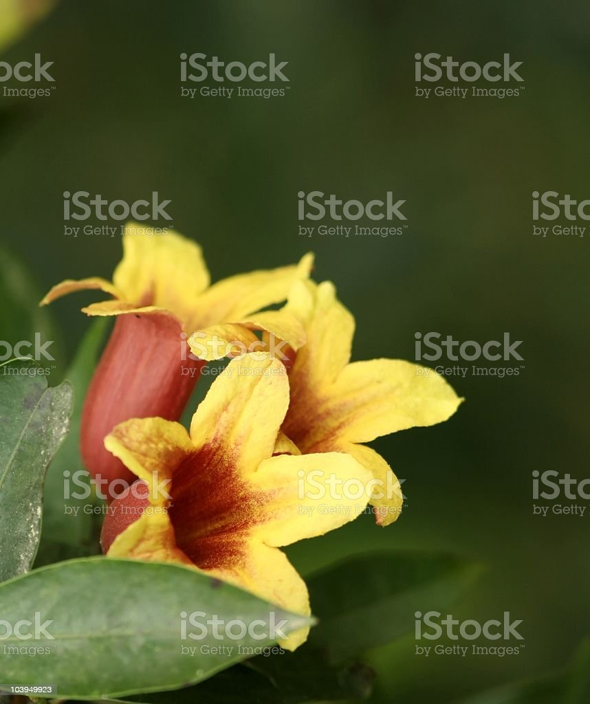Cross vine multiple flowers stock photo