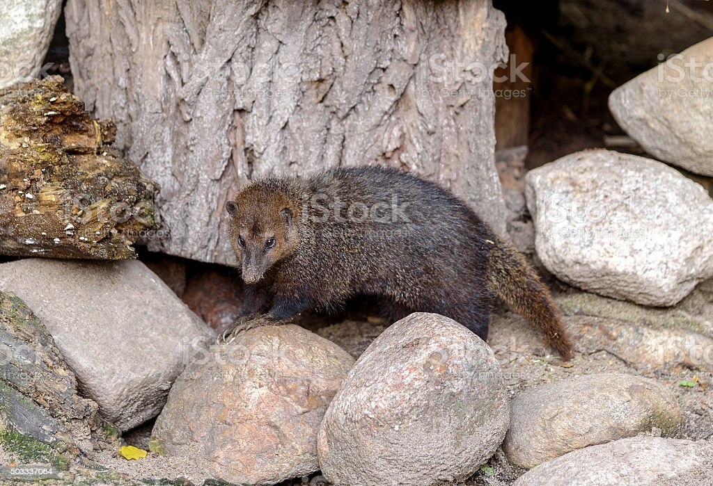 Crossarchus obscurus is small and very social stock photo