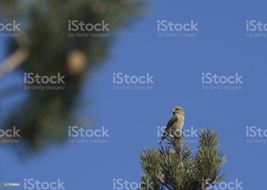 Crossbill in Pine royalty-free stock photo