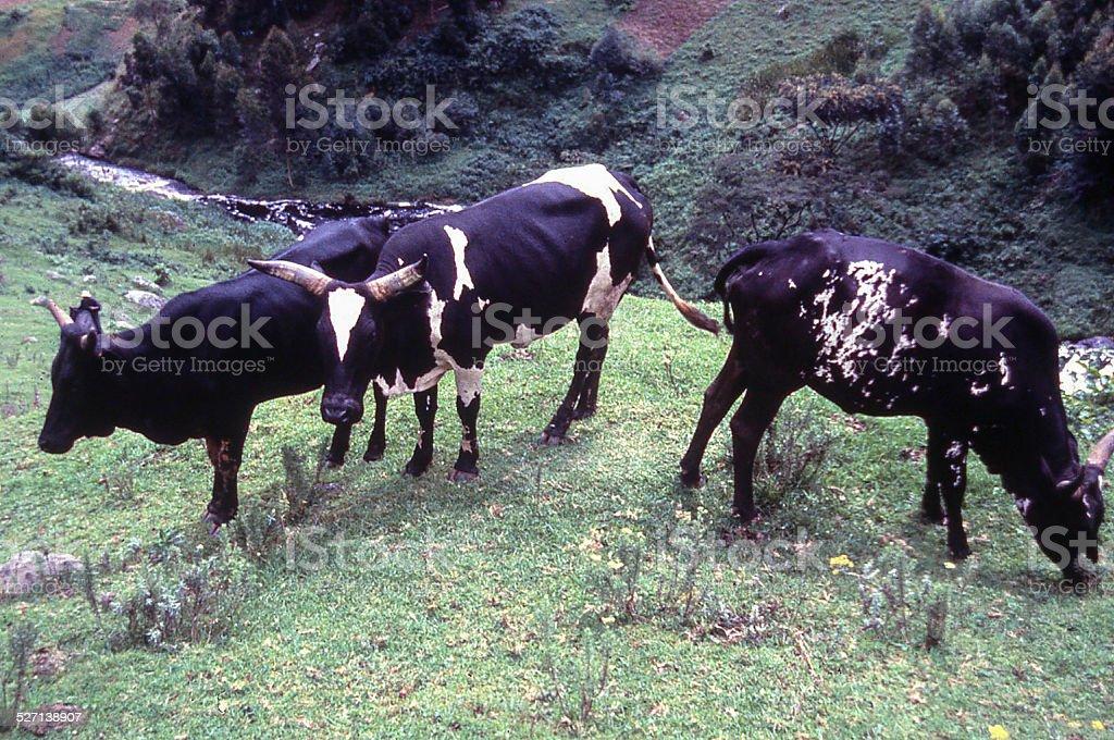Cross-bred Holstein and Ankole Cattle northwest Rwanda Africa stock photo