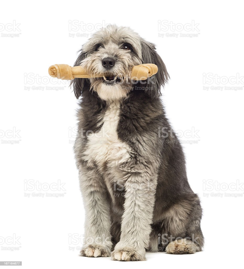 Crossbreed, 4 years old, sitting and holding a bone stock photo