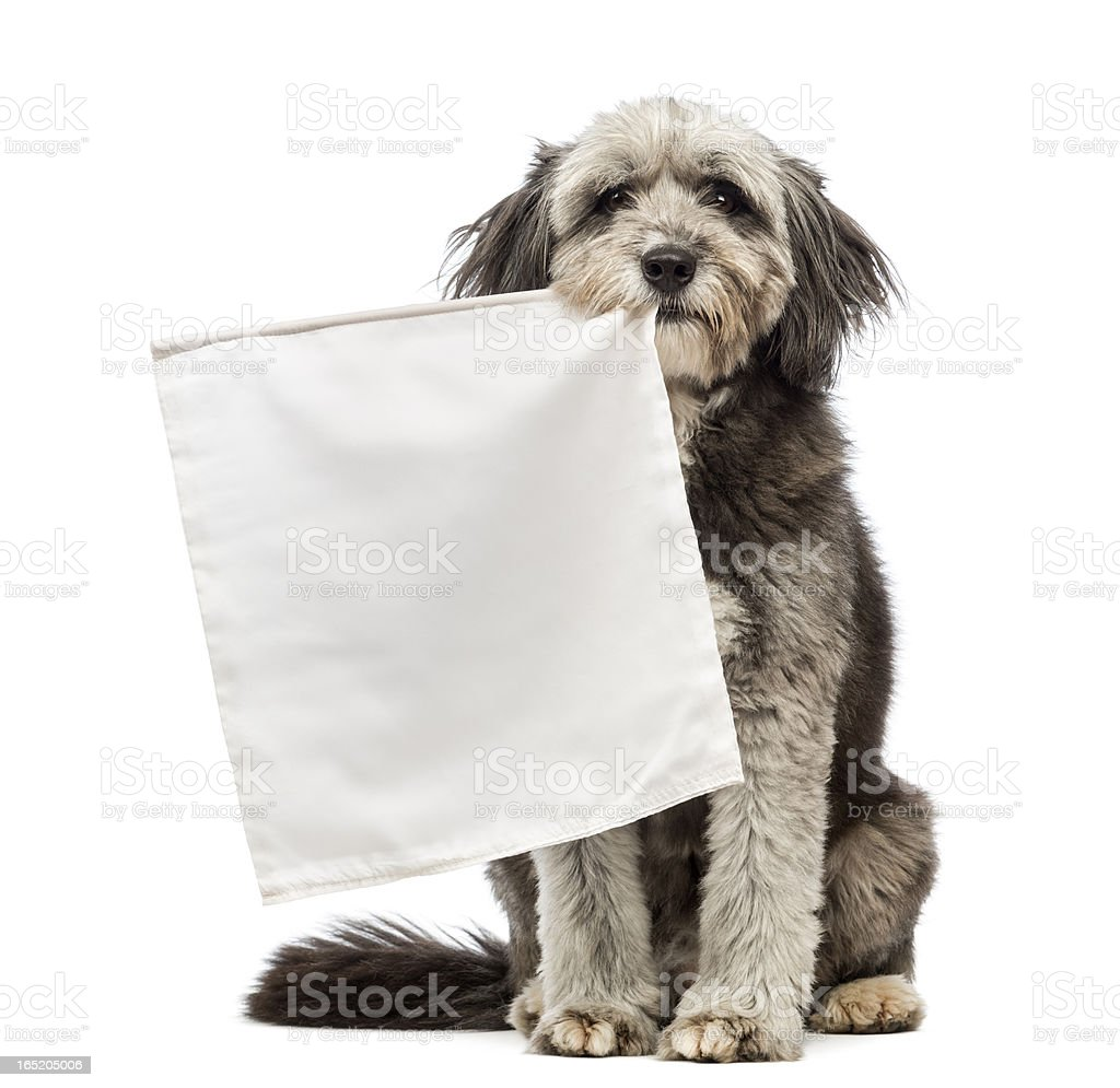 Crossbreed, 4 years old, sitting and holding a white flag stock photo