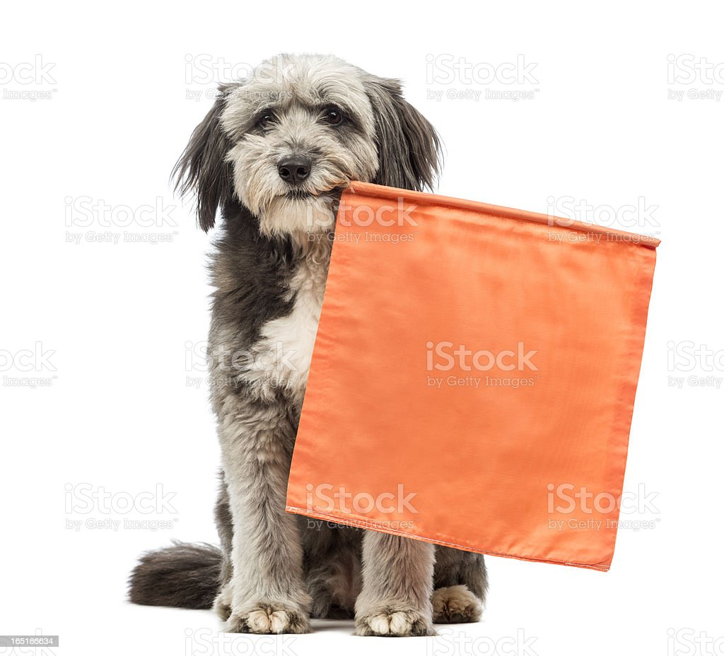 Crossbreed, 4 years old, sitting and holding an orange flag stock photo