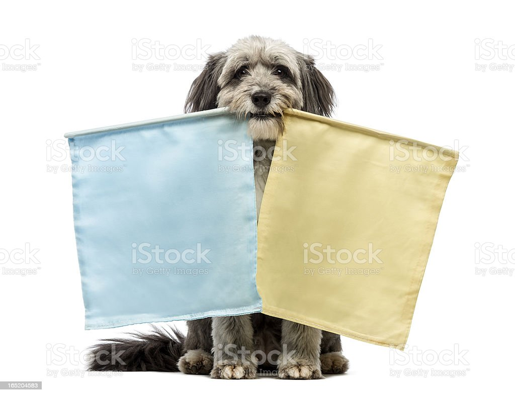 Crossbreed, 4 years old, sitting and holding two flags stock photo
