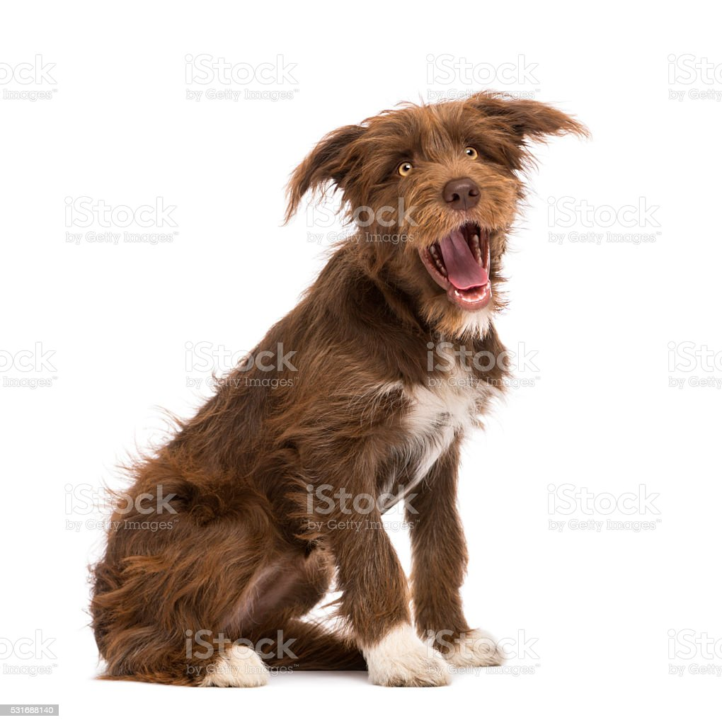 Crossbreed, 5 months old, sitting against white background stock photo