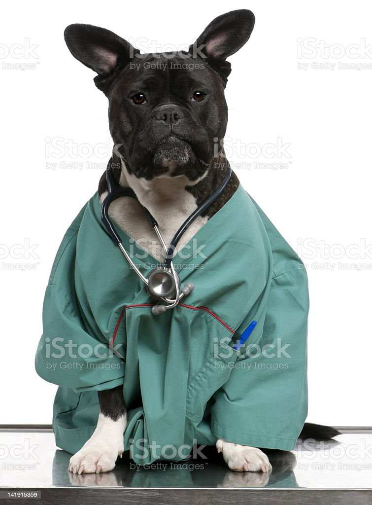 Crossbreed dog dressed in doctor coat and wearing a stethoscope royalty-free stock photo