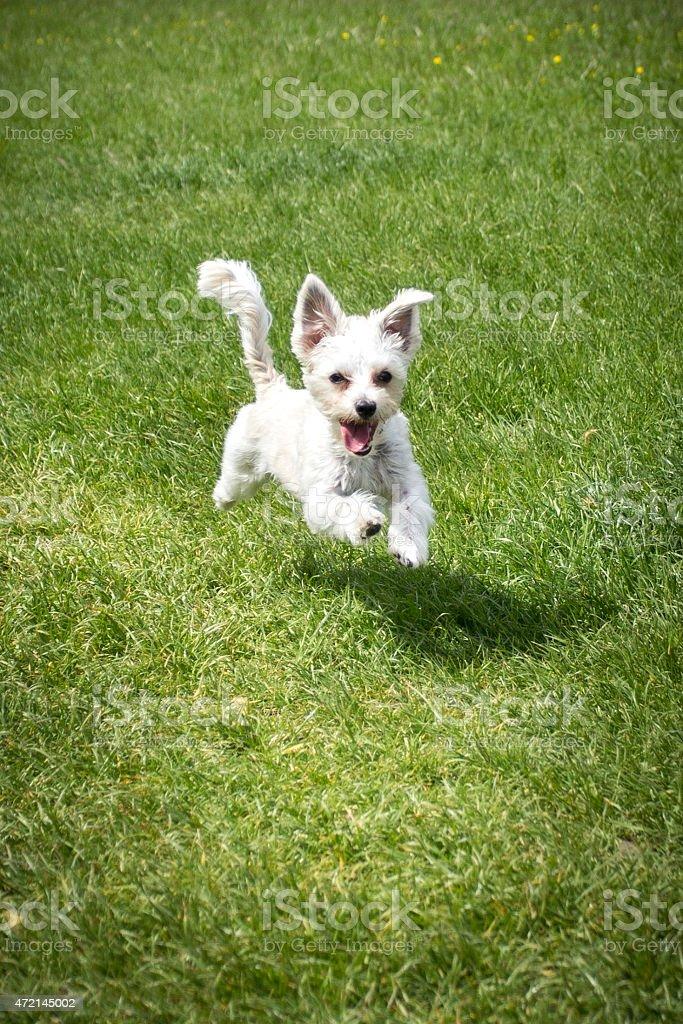 Crossbreed dog Havanese Yorkshire terrier green grass stock photo