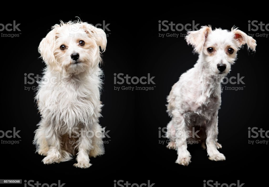 Crossbreed dog Havanese Yorkshire terrier haircut stock photo
