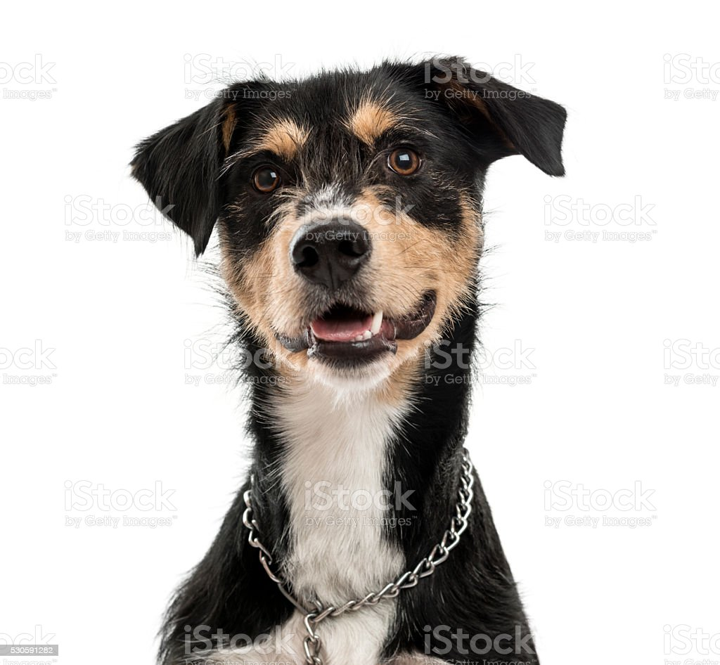 Cross-breed dog isolated on white stock photo