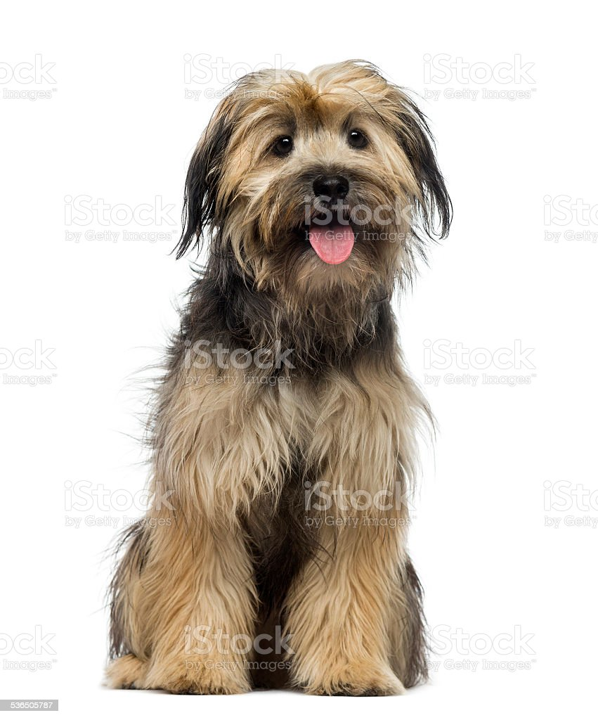 Crossbreed dog (7 months old) stock photo