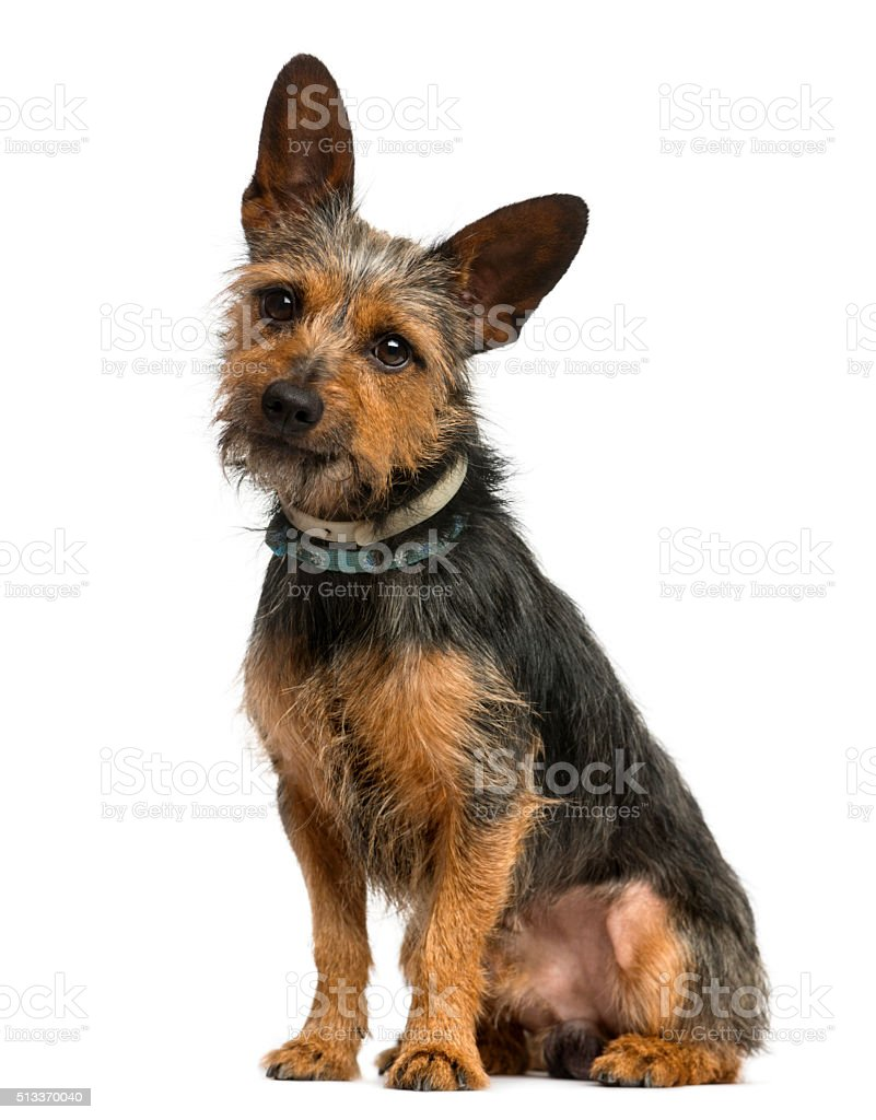 Crossbreed dog sitting in front of a white background stock photo