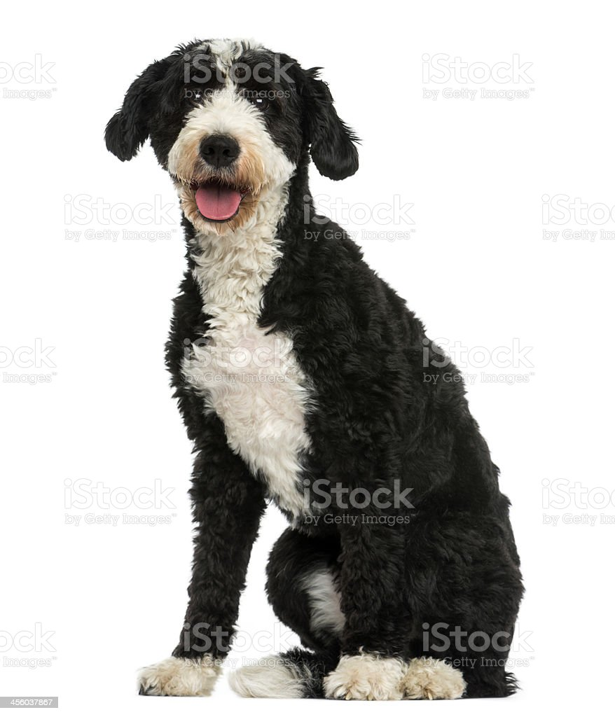 Crossbreed dog sitting, panting, 2 years old, isolated on white stock photo