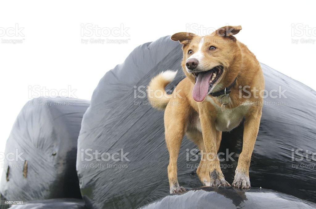 Crossbreed dog standing on bale of hay stock photo