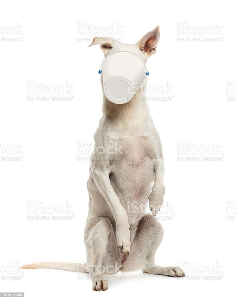 Crossbreed dog standing on hind legs with bucket on face stock photo